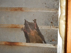 Bat in the gable vent
