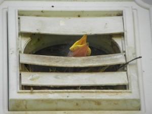 bird in the dryer vent