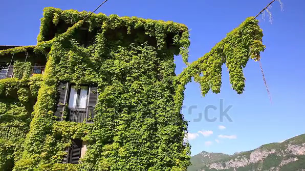 I Love Spring And Love Vines Growing On My House What